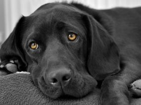 sad black dog